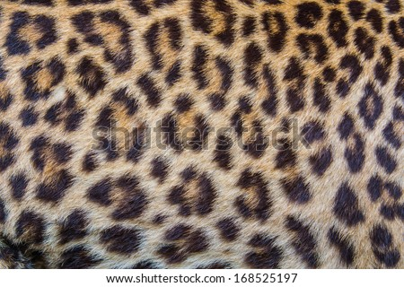 Leopard Fur Background.
