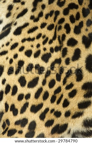 leopard fur texture (real) - stock photo