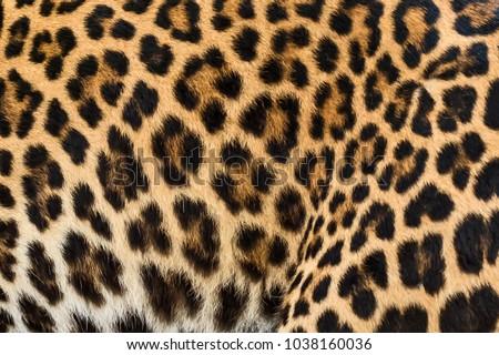Leopard fur texture (real fur) #1038160036