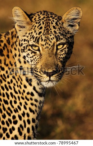 Leopard gazing with golden eyes - stock photo