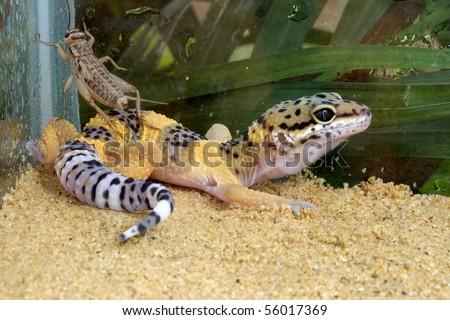 Adorable leopard geckos Page 248
