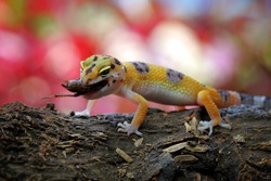 Leopard gecko eating insect on wood, animal closeup