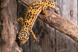 Leopard gecko (eublepharis macularius) climbing on the branch
