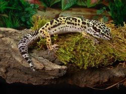 Leopard gecko Eublepharis macularius in terrarium