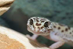 leopard gecko, Eublepharis macularius. Tropical lizard