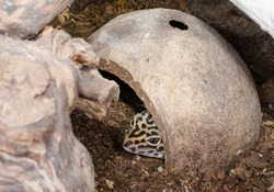 leopard gecko in coconut shell home