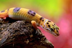 Leopard Gecko in wood