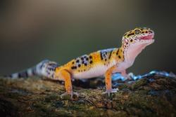 Leopard Gecko is on a tree branch