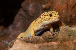 Leopard gecko lizard, close up macro. Cute Leopard gecko portrait (Eublepharis macularius). Leopard gecko on the rock.