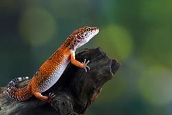 leopard gecko lizard on wood , eublepharis macularius