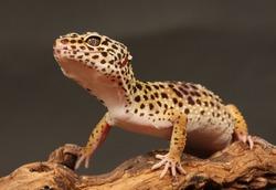 leopard gecko sitting on a brunch