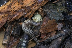 Leopard, great grey or keeled slug with eggs on wet rotting wood, Limax maximus, macro close-up detail