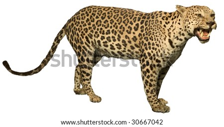 leopard growling showing teeth isolated on white
