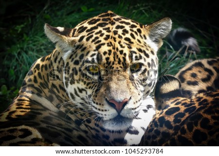 Leopard head closeup #1045293784