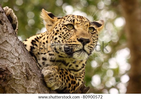Leopard high up in tree