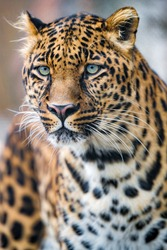 Leopard hunter animal wildlife predator