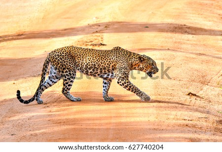 Leopard hunting #627740204