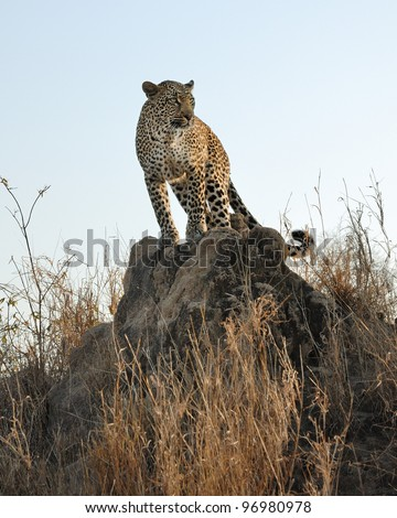 Leopard hunting in Sabi Sands area of South Africa