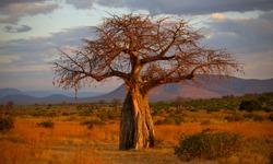 Leopard in Baobab tree at sunset beautiful colors at Ruaha National Park in Tanzania near Iringa