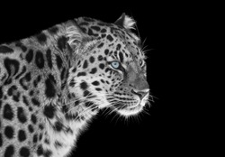Leopard in black and white with blue eyes