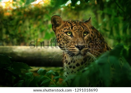 Leopard in green nature. Photo from animal´s world. Dangerous predator living in captivity.