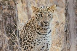 Leopard in its natural habitat