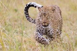 Leopard in Masai Mara, Kenya