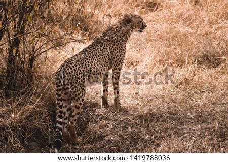 Leopard in masai mara national park #1419788036