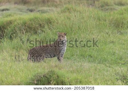 Leopard in Serengeti National Park, Tanzania Africa #205387018