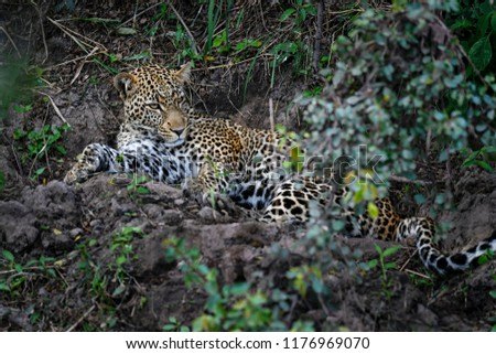 Leopard in the Masai Mara #1176969070