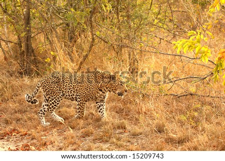 Leopard in the Sabi Sands Reserve #15209743