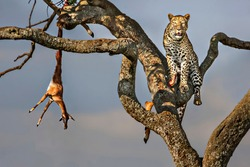Leopard in the tree with the kill, in Masai Mara, Kenya