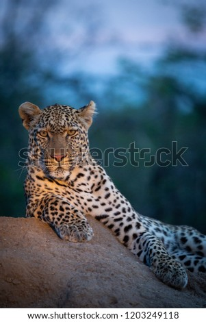 Leopard in the wild - Captured in the Greater Kruger National Park