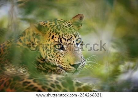 Leopard in the wild on the island of Sri Lanka #234266821