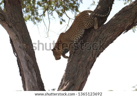Leopard in tree #1365123692