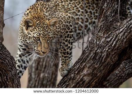 Leopard in trees - Greater Kruger National Park