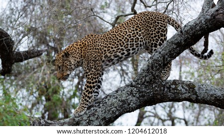 Leopard in trees - Greater Kruger National Park