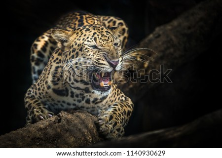 Leopard is roaring on the timber. #1140930629