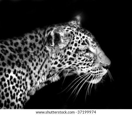 Leopard isolated on black