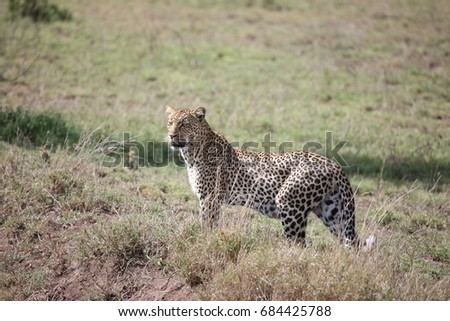 Leopard Kenya Africa savannah wild animal cat mammal #684425788