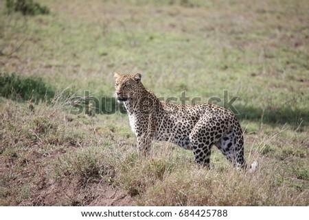 Leopard Kenya Africa savannah wild animal cat mammal #684425788