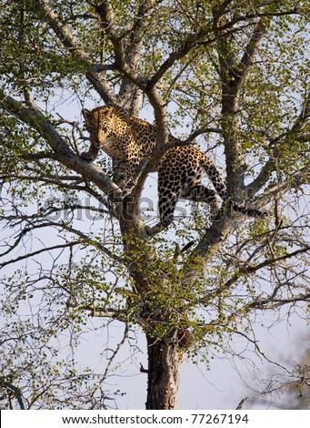 Leopard - Kruger National Park, South Africa - stock photo