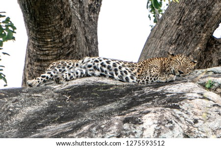 Leopard & Leopard Cubs gazing in the wild #1275593512