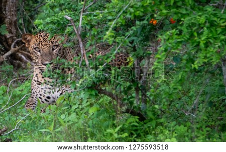 Leopard & Leopard Cubs gazing in the wild #1275593518