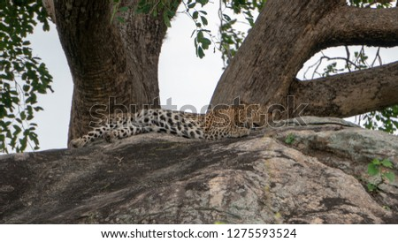 Leopard & Leopard Cubs gazing in the wild #1275593524