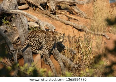 Leopard / Leopard / Panthera pardus #1365884990