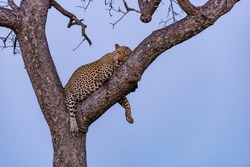 Leopard lies comfortably on a tree