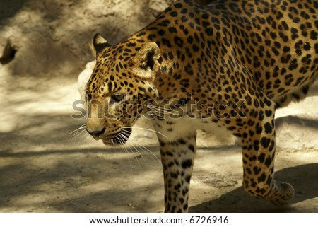 Leopard looking for someone on: large solitary cat that has a fawn or brown coat with black spots, found in the forests of Africa and southern Asia. [Panthera pardus.]