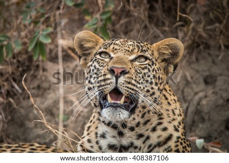 Leopard looking up in the Sabi Sands, South Africa. #408387106