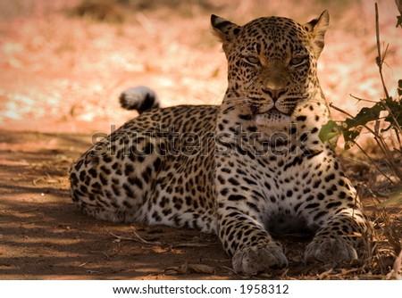 Leopard lying down